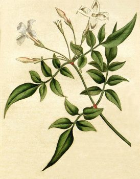 Жасмин растение