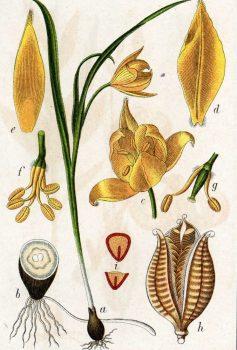 Тюльпан ботаника