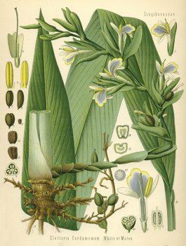 Кардамон сила растения