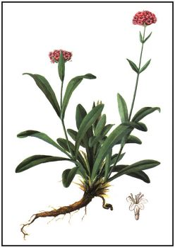 nard-oil растение