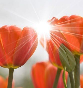 Тюльпан - символ веры