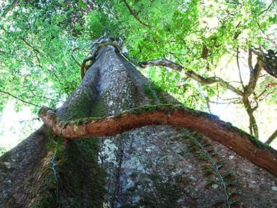 Дух растения Чучухуаси