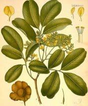 Виджайсар: листья
