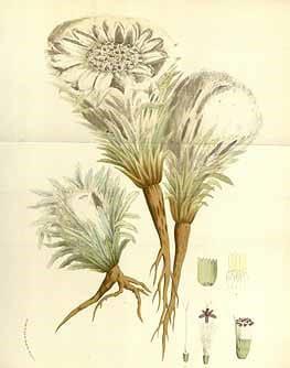 Костус. Строение растения. spirits-of-plants