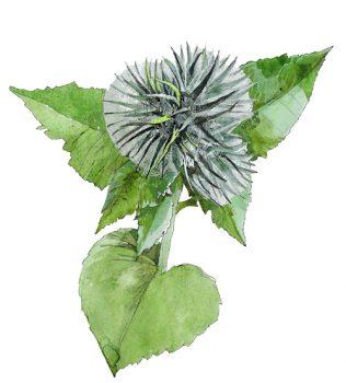 Костус. spirits-of-plants