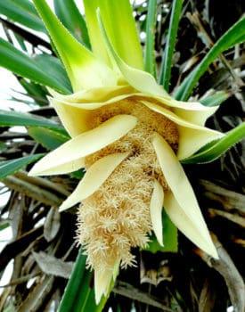 Цветок пандануса