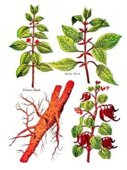 Сандал. Строение растения: листья, корень, цветы