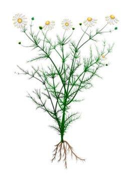 Ромашка голубая (Chamomilla recitita) стебли, листья и корни. Строение ромашки