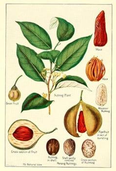 Мускатный Орех. Spirits of plants. Структура, строение
